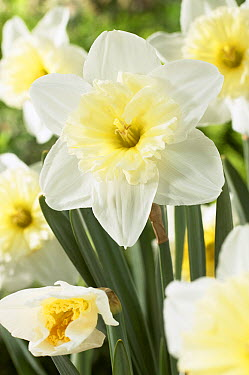 Daffodil (Narcissus sp) ice follies variety flower  -  VisionsPictures