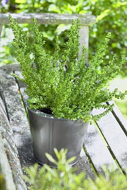 Alpine Mint-bush (Prostanthera cuneata) alpine gold variety  -  VisionsPictures