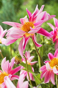Dahlia (Dahlia sp) rose star variety flowers  -  VisionsPictures