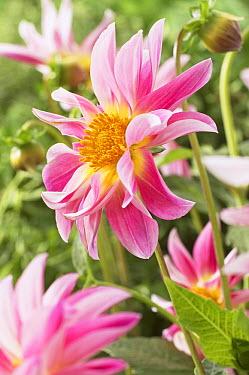 Dahlia (Dahlia sp) rose star variety flower  -  VisionsPictures