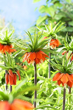 Crown Imperial (Fritillaria imperialis) rubra variety flowers  -  VisionsPictures