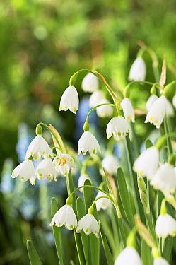 Summer Snowflake (Leucojum aestivum) flowers  -  VisionsPictures