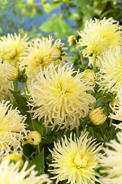 Dahlia (Dahlia sp) yellow star variety flowers  -  VisionsPictures