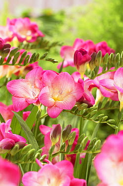 Freesia (Freesia sp) blossom peach variety flowers  -  VisionsPictures