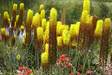 Foxtail Lily (Eremurus sp) flowers  -  VisionsPictures