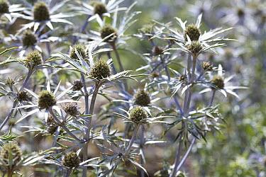 Moroccan Sea Holly (Eryngium variifolium) flowers  -  VisionsPictures