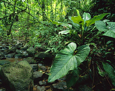 Shade plants with their large leaves cover the banks of forest creek, Barro Colorado Island, Panama  -  Christian Ziegler