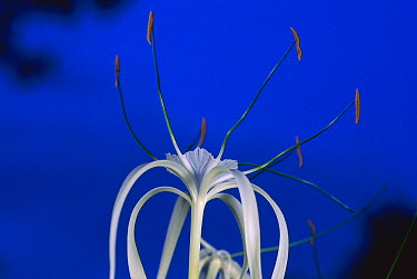 Beach Spiderlily (Hymenocallis littoralis) opens its flowers in late afternoon and releases a sweet scent soon after sunset to attract the moths that pollinate it, Barro Colorado Island, Panama  -  Christian Ziegler