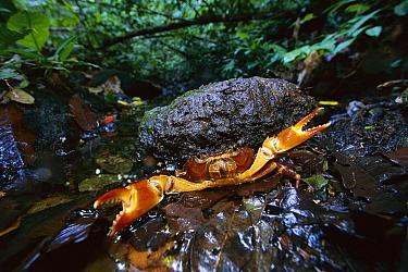 Short-tailed Crab (Potamocarcinus sp) in defensive posture, Barro Colorado Island, Panama  -  Christian Ziegler