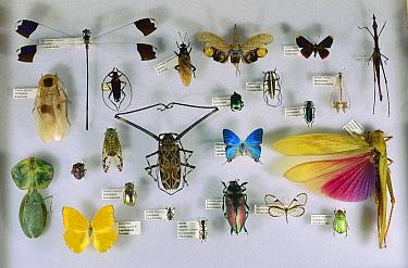 Left to right, from top: Blue Helicopter Damselfly (Megaloprepus coerulatus), Mydas Fly (Mydidae), Saw-nosed Planthopper (Cathedra serrata), Metalmark (Lymnas pixe), Grasshopper (Proscopia panamensis)...  -  Christian Ziegler