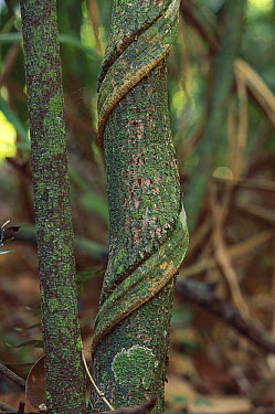 Vine main stem winds around its support, Barro Colorado Island, Panama  -  Christian Ziegler