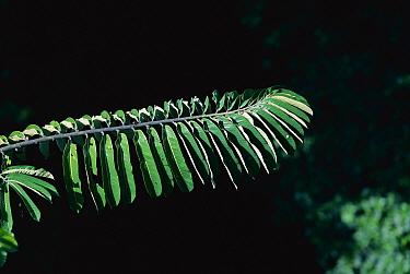 Baboonwood (Virola surinamensis) sunlit leaves, Barro Colorado Island, Panama  -  Christian Ziegler