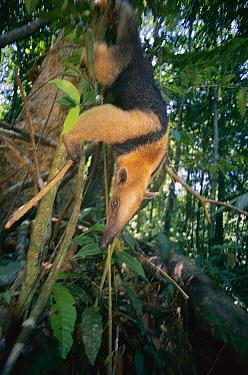 Northern Tamandua (Tamandua mexicana) climbing down tree, Barro Colorado Island, Panama  -  Christian Ziegler
