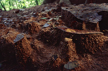 Small leaf particles protect the soil under them from erosion, creating tiny pyramids of protected soil, Barro Colorado Island, Panama  -  Christian Ziegler