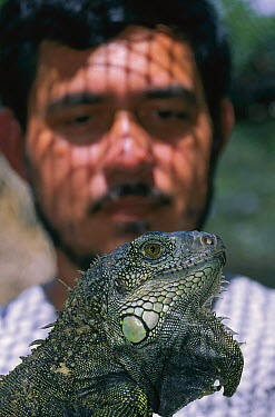 Green Iguana (Iguana iguana) female from farm held by biologist August Gonzales, Barro Colorado Island, Panama  -  Christian Ziegler