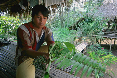 Embara Indian man with collected plants used for medical purposes, Chagres River, Barro Colorado Island, Panama  -  Christian Ziegler