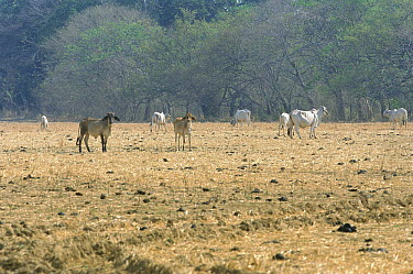Domestic Cattle (Bos taurus) on low-quality pasture in deforested area, central Panama  -  Christian Ziegler