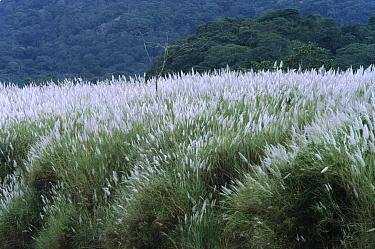 Fodder Cane (Saccharum spontaneum), invasive species occupies cleared land, central Panama  -  Christian Ziegler