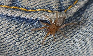 Mouse Spider (Scotophaeus blackwalli) on clothes  -  Stephen Dalton