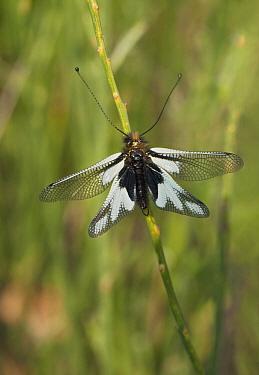 Owl Fly (Ascalaphidae) male, Umbria, Italy  -  Stephen Dalton