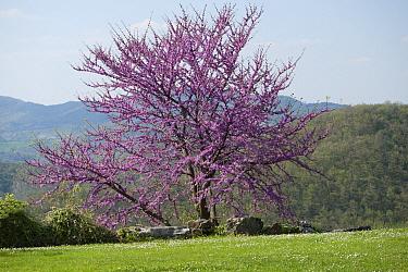 Judas Tree (Cercis siliquastrum) flowering, Umbria, Italy  -  Stephen Dalton