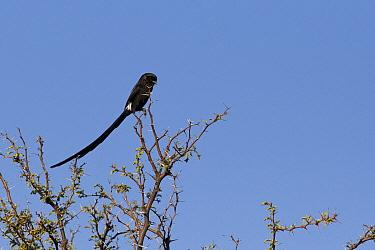 Magpie Shrike (Urolestes melanoleuca), Okavango Delta, Botswana  -  Suzi Eszterhas