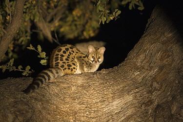 Small-spotted Genet (Genetta genetta), Okavango Delta, Botswana  -  Suzi Eszterhas