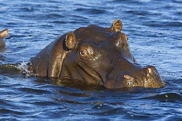 Hippopotamus (Hippopotamus amphibius), northern Botswana  -  Suzi Eszterhas