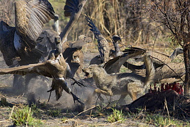 Side-striped Jackal (Canis adustus) attacking White-backed Vultures (Gyps africanus) at kill, Okavango Delta, Botswana  -  Suzi Eszterhas