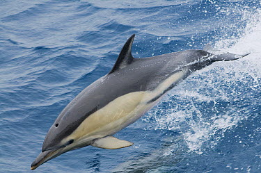 Common Dolphin (Delphinus delphis) jumping, Azores, Portugal  -  Kevin Schafer