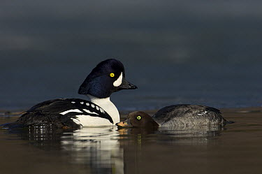 Barrow's Goldeneye (Bucephala islandica) female courting male, Alaska  -  Michael Quinton