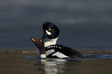 Barrow's Goldeneye (Bucephala islandica) pair mating, Alaska  -  Michael Quinton