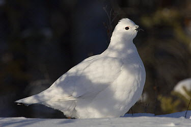Willow Ptarmigan (Lagopus lagopus) in winter plumage, Alaska  -  Michael Quinton