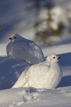 Willow Ptarmigan (Lagopus lagopus) pair in winter plumage camouflaged in snow, Alaska  -  Michael Quinton