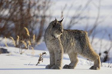 Canada Lynx (Lynx canadensis) on snow, Alaska  -  Michael Quinton