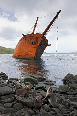 Antarctic Fur Seal (Arctocephalus gazella) pups and shipwreck, Prince Olav Harbour, South Georgia Island  -  Ingo Arndt