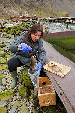 Brown Rat (Rattus norvegicus) trapped by Ruth Fraser at whaling station for South Georgia Heritage Trust Rat Eradication Project, Grytviken, South Georgia Island  -  Ingo Arndt