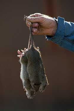 Brown Rat (Rattus norvegicus) trio found dead after baiting, South Georgia Heritage Trust Rat Eradication Project, Grytviken, South Georgia Island  -  Ingo Arndt