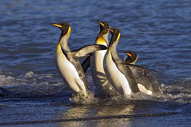 King Penguin (Aptenodytes patagonicus) group coming ashore, Fortuna Bay, South Georgia Island  -  Ingo Arndt