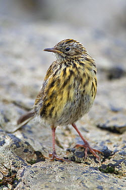 South Georgia Pipit (Anthus antarcticus) sub-adult, Prion Island, South Georgia Island  -  Ingo Arndt