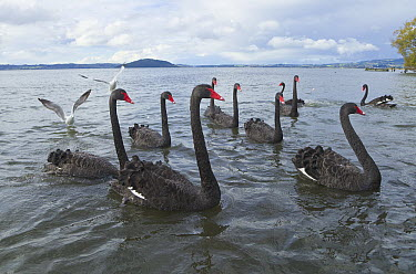 Black Swan (Cygnus atratus) flock, Lake Rotorua, New Zealand  -  Yva Momatiuk & John Eastcott