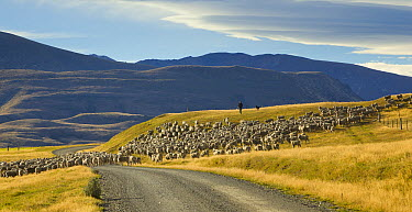 Domestic Sheep (Ovis aries) herded by shepherd along gravel road in Southern Alps, South Island, New Zealand  -  Yva Momatiuk & John Eastcott