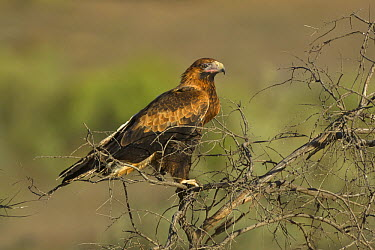 Wedge-tailed Eagle (Aquila audax), Flinders Ranges National Park, Australia  -  Yva Momatiuk & John Eastcott