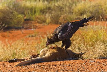 Wedge-tailed Eagle (Aquila audax) feeding on road killed Red Kangaroo (Macropus rufus) carcass, Northern Territory, Australia  -  Yva Momatiuk & John Eastcott