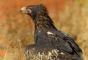 Wedge-tailed Eagle (Aquila audax) panting, Northern Territory, Australia  -  Yva Momatiuk & John Eastcott