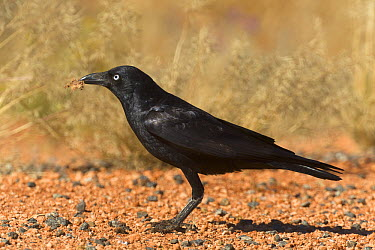 Torresian Crow (Corvus orru) with piece of road-killed kangaroo flesh in beak, Northern Territory, Australia  -  Yva Momatiuk & John Eastcott