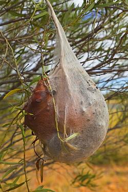 Pine Processionary Moth (Thaumetopoea pityocampa) caterpillars in communal tent hanging on bush, Northern Territory, Australia  -  Yva Momatiuk & John Eastcott