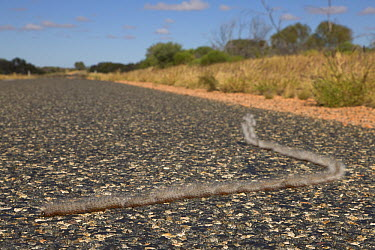 Pine Processionary Moth (Thaumetopoea pityocampa) caterpillars on road looking for place to pupate, Northern Territory, Australia  -  Yva Momatiuk & John Eastcott