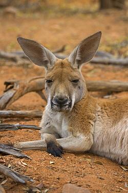 Red Kangaroo (Macropus rufus) male resting, Alice Springs Desert Park, Northern Territory, Australia  -  Yva Momatiuk & John Eastcott
