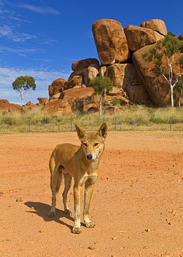 Dingo (Canis lupus dingo) visiting campground to scavenge for food, Devils Marbles Conservation Reserve, Northern Territory, Australia  -  Yva Momatiuk & John Eastcott